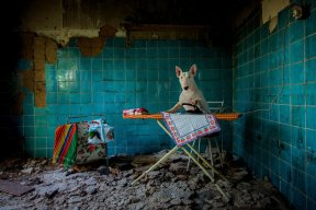 PIC FROM ALICE VAN KEMPEN/CATERS NEWS (Pictured: Claire ironing in an abandoned farmhouse in Netherlands) - Talk about a pass-pawt! Meet the globetrotting dog who visits abandoned places and poses for photographs. Meet Claire, the three-year-old bull terrier who travels the world with Dutch photographer Alice van Kempen, 48, posing for photographs in abandoned buildings. Alice travels the world seeking out abandoned places to photograph in pursuit of her passion for urban exploring, taking her pooch as her trusted companion. SEE CATERS COPY
