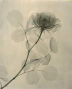 Tasker-A-Rose-1936-768x953